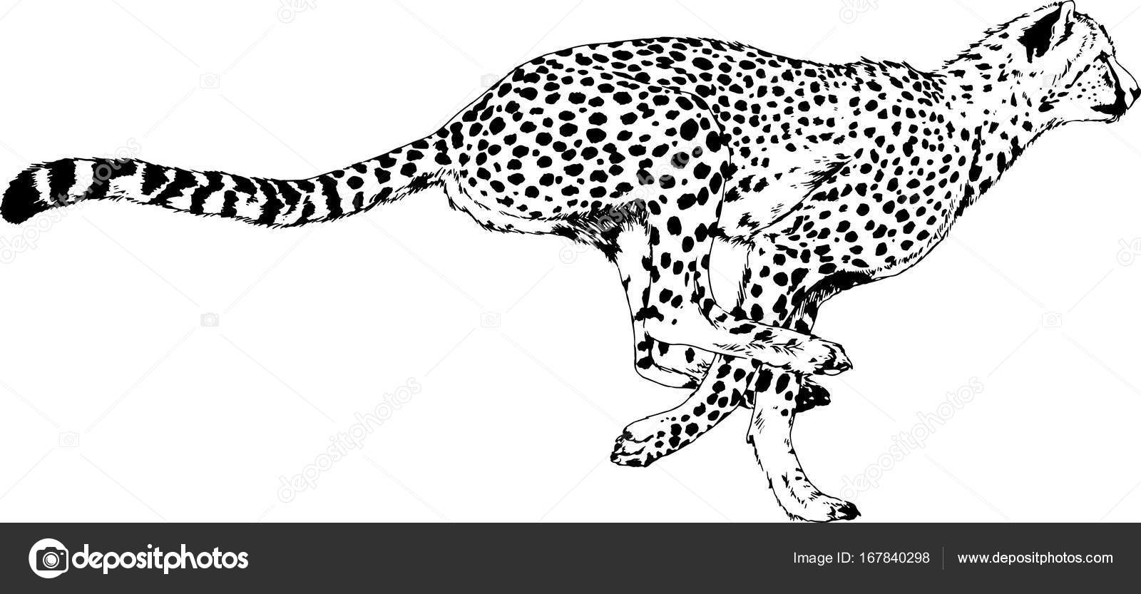 ᐈ cheetah stock icon royalty free cheetah logo cliparts download on depositphotos https depositphotos com 167840298 stock illustration running cheetah drawn in ink html