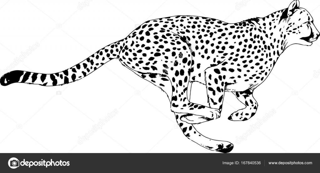 laufender gepard in tusche von hand auf weißem hintergrund