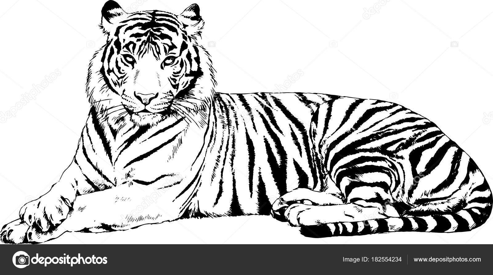 gro e tiger gemalt mit tinte von hand auf einem wei en stockvektor evgo1977 182554234. Black Bedroom Furniture Sets. Home Design Ideas