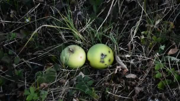 červená jablka na větev stromu jablko