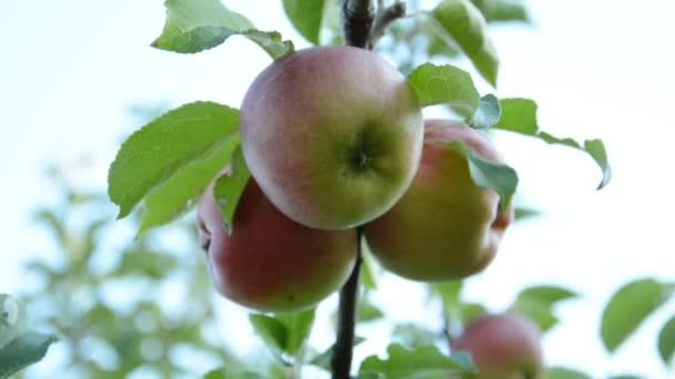 Vörös alma az almafa ágon