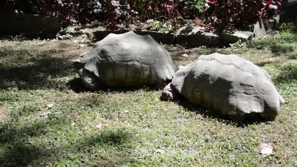 Gigantic turtle in Ethiopia, Addis Ababa