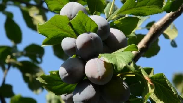 Szilva gyümölcsök egy fán