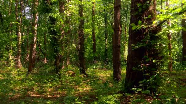 Dřevo, Les, stromy, zelené kapradí, léto, příroda, kapradí, 3