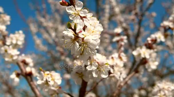 Apricot-tree blossom. Spring, Blue Clear Sky-2