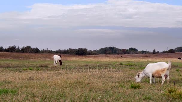 Krávy a kozy chůva je pastva na pastvině. Podzim
