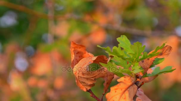 Yellow And Green Leaves On Oak Tree. Autumn Morning
