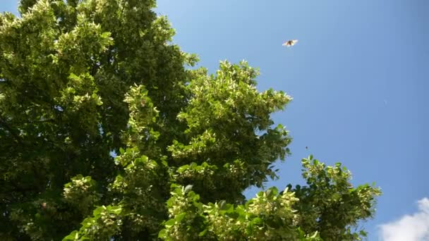 Painted Lady Butterflies Swarming on Linden Tree in Backyard Garden. Summer Bright Day. 2x Slow motion - Half speed of 60 FPS