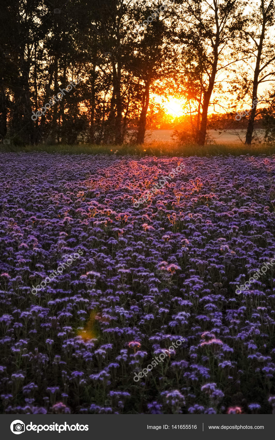 Purple Flowers Field On The Sunset Phacelia Plantation Honey