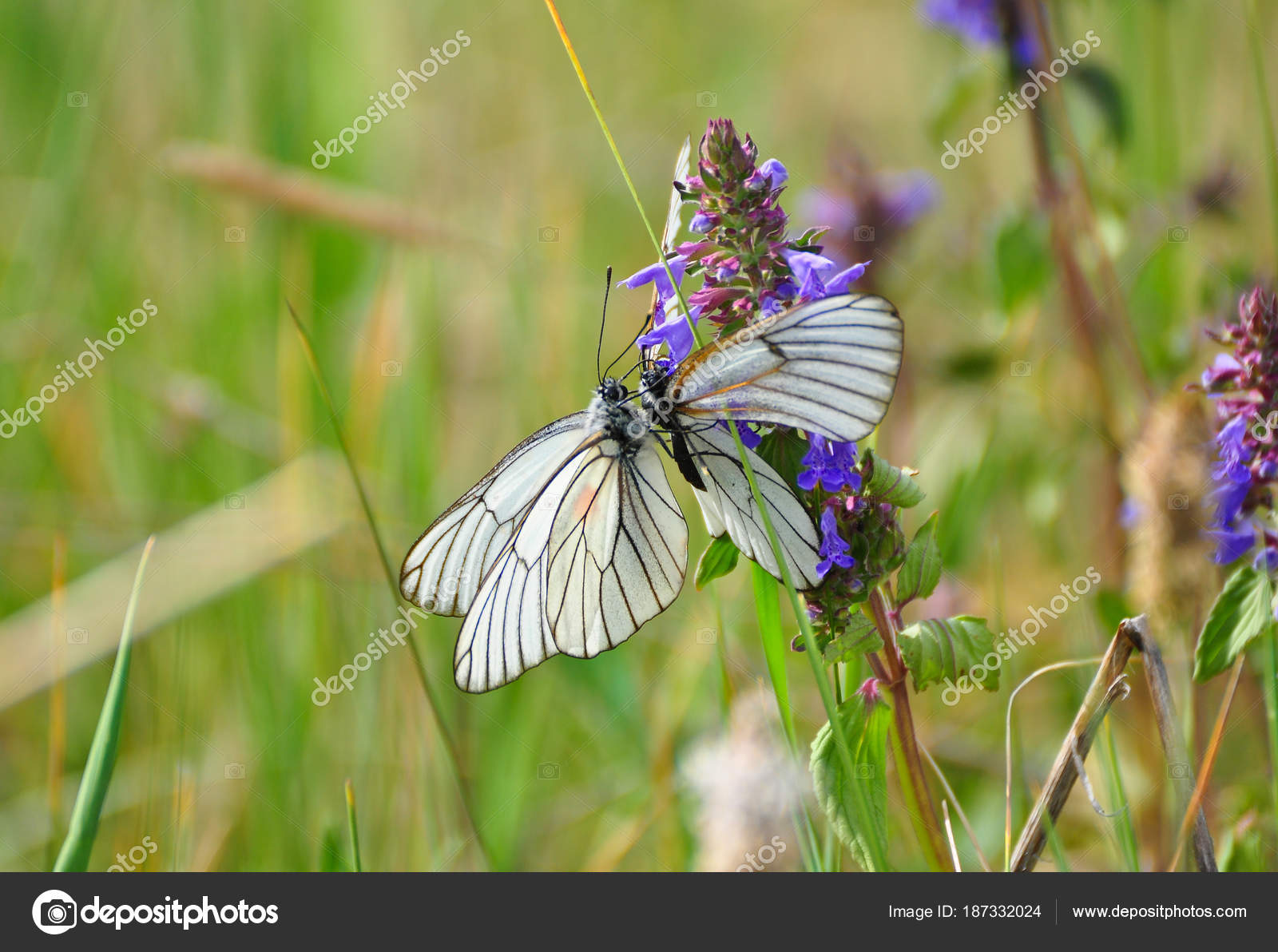 White Cabbage Butterflies On Small Violet Flowers Stock Photo