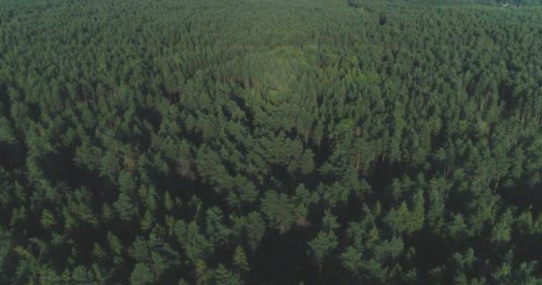 Anténa: Létání nad vrcholky stromů a mlhavé borovice lesní. Tlusté mlžné mraky stoupající z svěží smrkovým porostem na chladné ráno den. Strašidelné mlha a balení zeleného borového lesa v podzimní ranní mlhy.