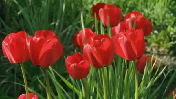 Pole červené tulipány, detailní pupeny houpat ve větru