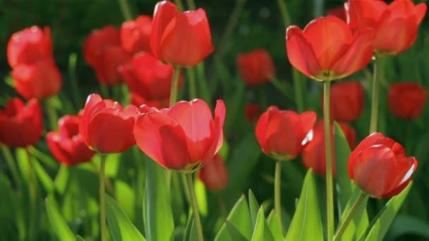Piros tulipán területén a vértes a rügyek sway a szélben