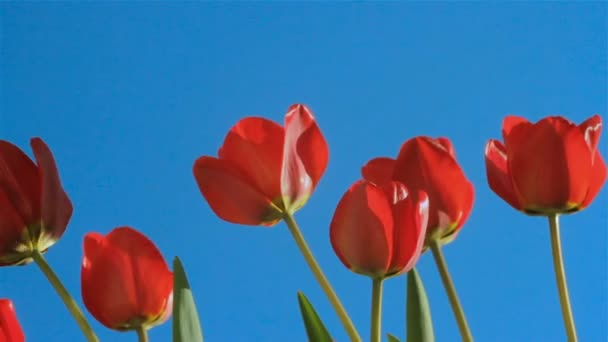 Field of red tulips on a blue sky background, closeup of buds swaying in the wind