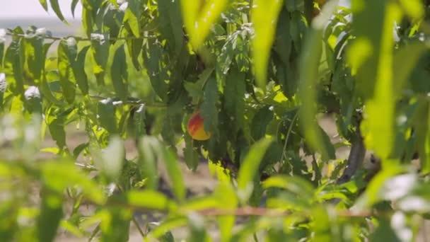 A fa növekvő őszibarack