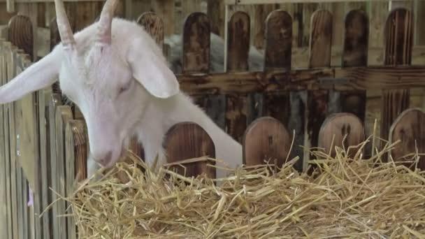 Eine junge weiße Ziege auf dem Hof frisst Heu