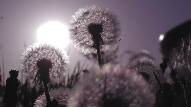 Nahaufnahme einer Silhouette ein Löwenzahn wächst im Feld bei Sonnenuntergang