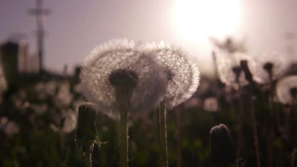 Közelkép a sziluettje a pitypang növekvő területén, a naplemente