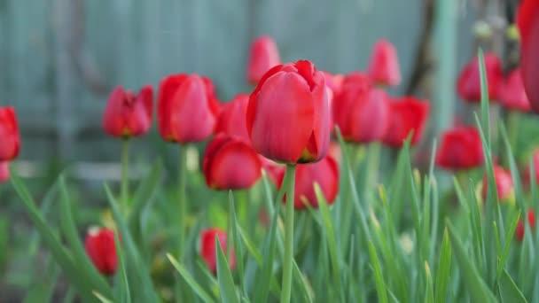 Jsou odhaleny timelaps rostoucí na květinové postel červené tulipány