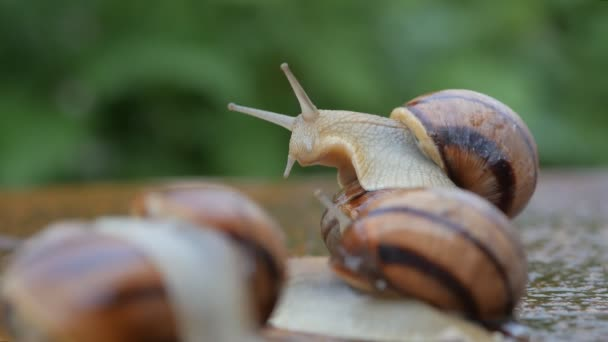 Grape snails slowly crawl in the garden on the wet surface