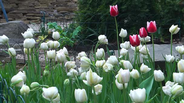 The flower bed of white tulips.