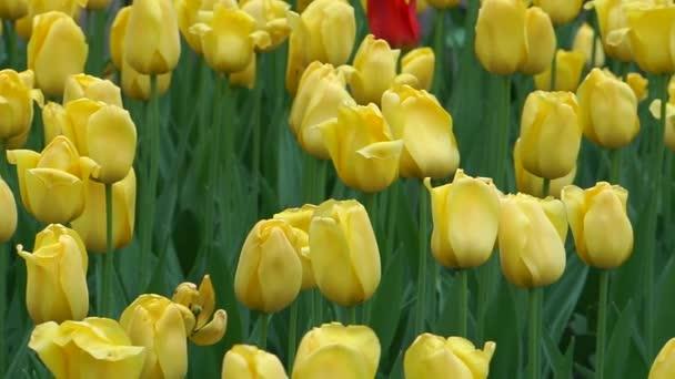 žluté tulipány detail