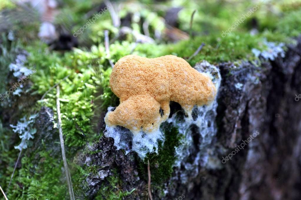 orange forest mushroom is like a sponge