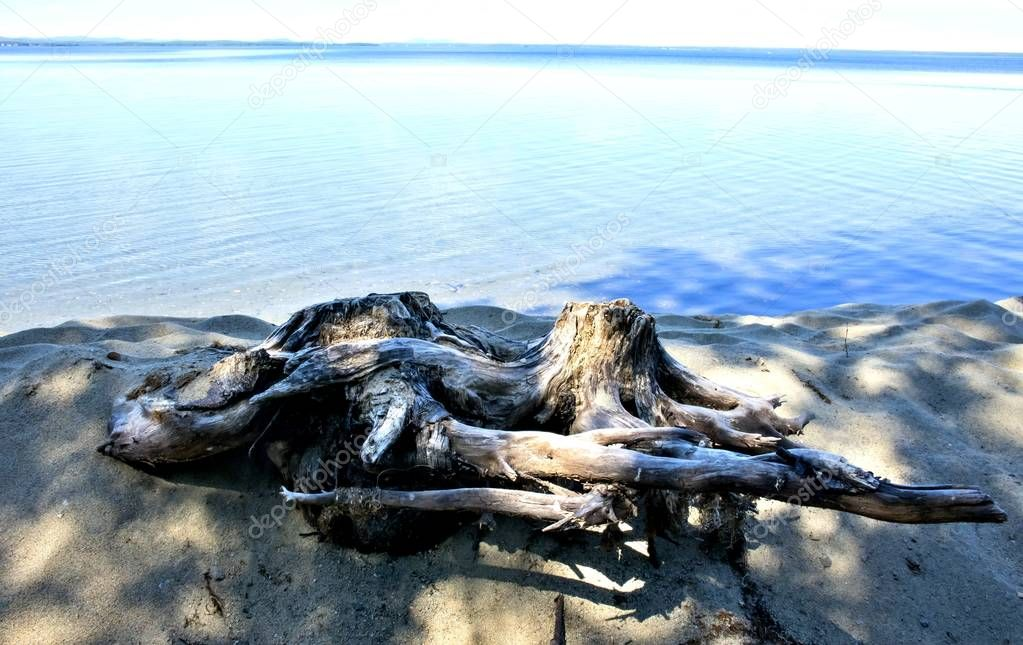 two old stump on the lake