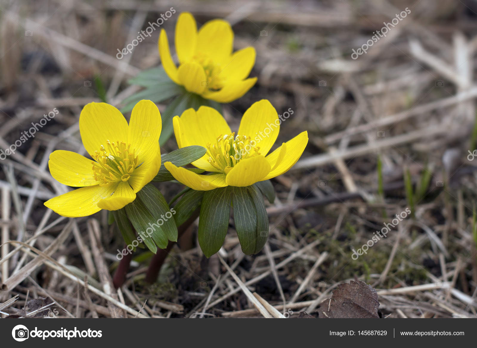 Winter Aconite First Spring Flowers Stock Photo