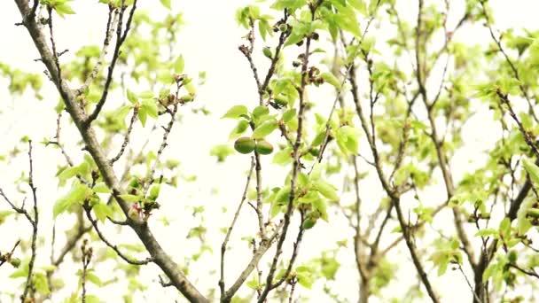 Podsvícené švestka na jaře s rostoucí švestky na něj