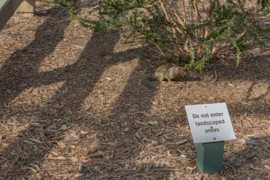 Illiterate squirrel on mulched ground by a sign stating- Do not enter landscaped areas, horizontal aspect