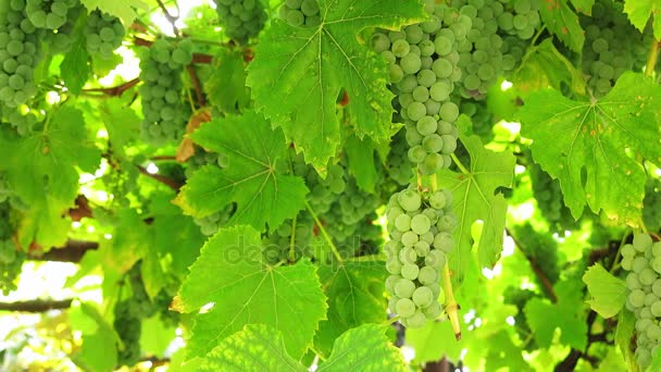 A bunch of grapes hanging thickly on the vine. Bunches of white grapes on a branch in the sunlight.