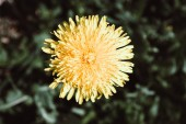 Close up of blooming yellow dandelion flower Taraxacum officina