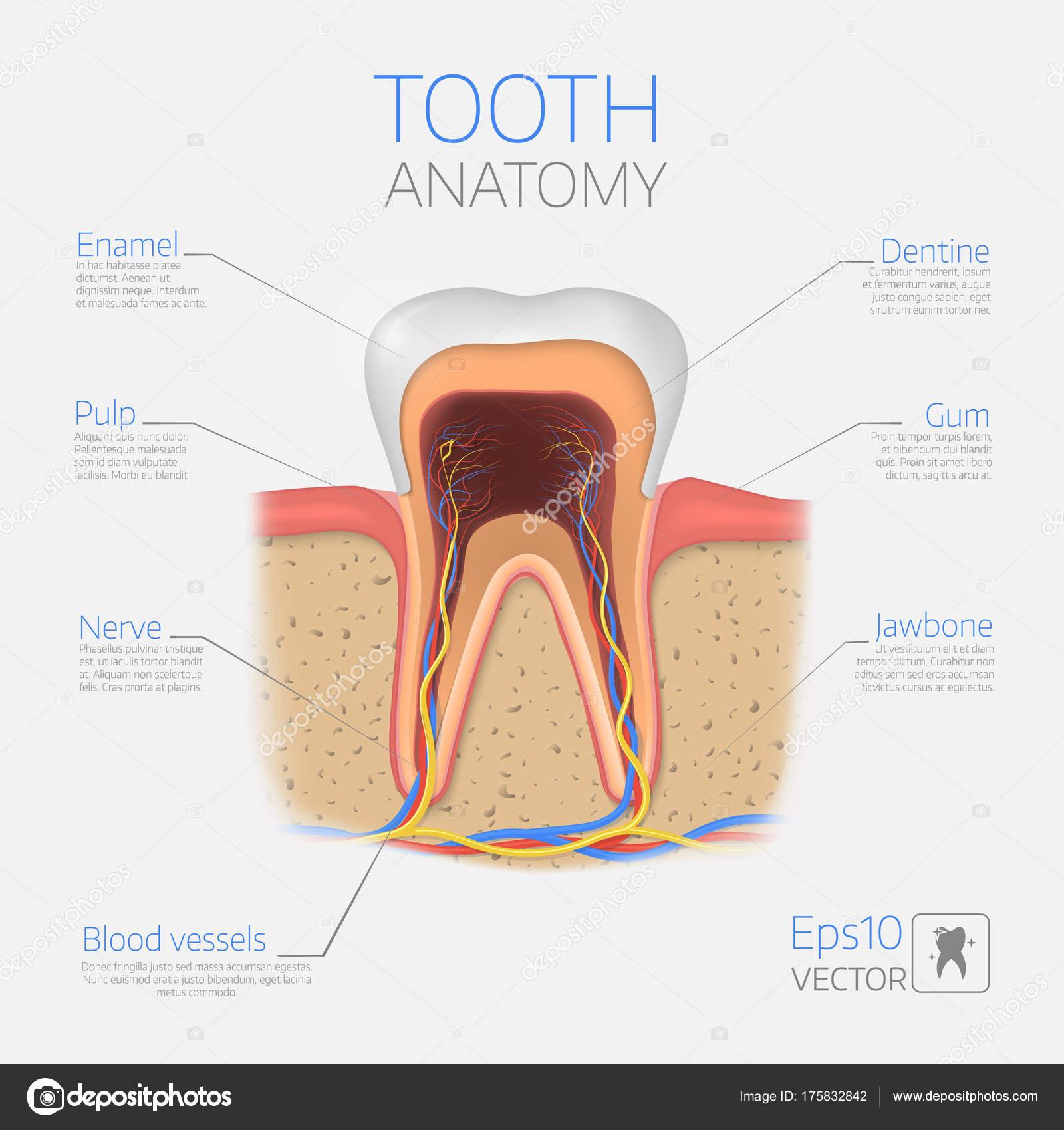 Vektor Zahnstruktur. Querschnitt Anatomie mit allen Teilen ...