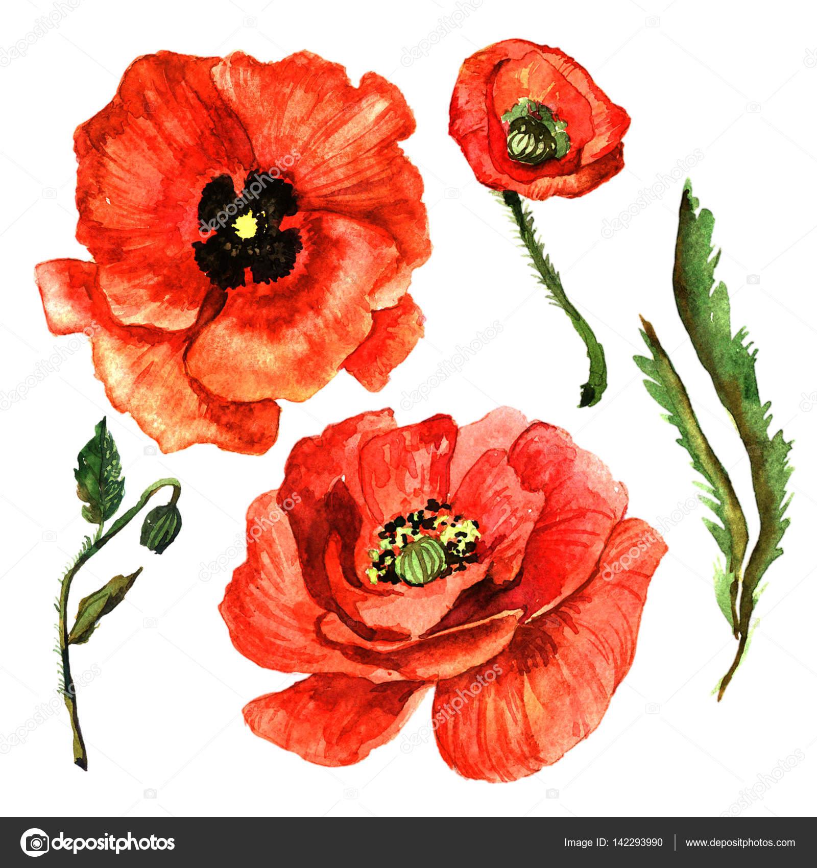 Flor de amapola de flores silvestres en un estilo acuarela aislado ...