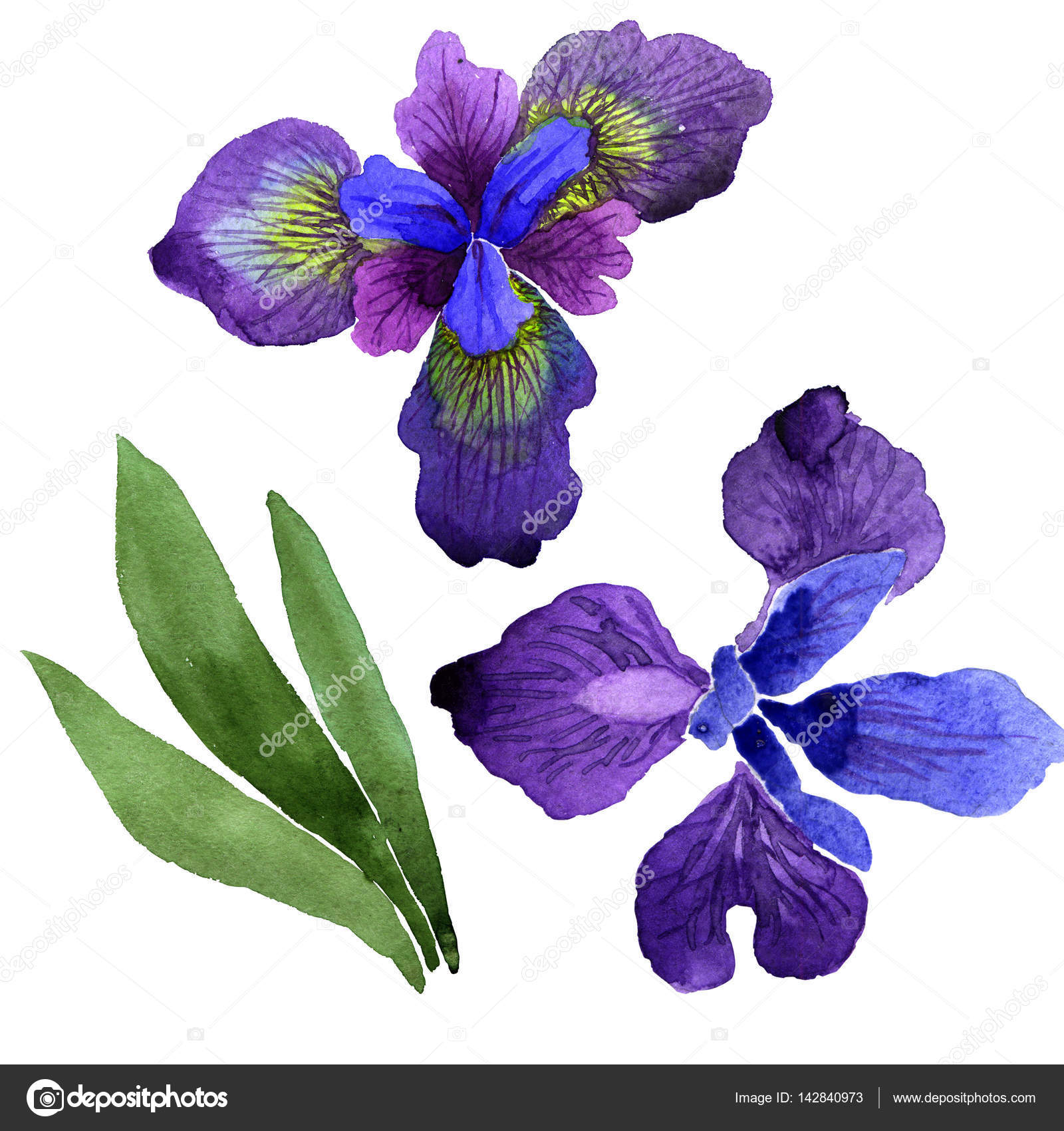 Wildflower Iris Flower In A Watercolor Style Isolated Stock Photo