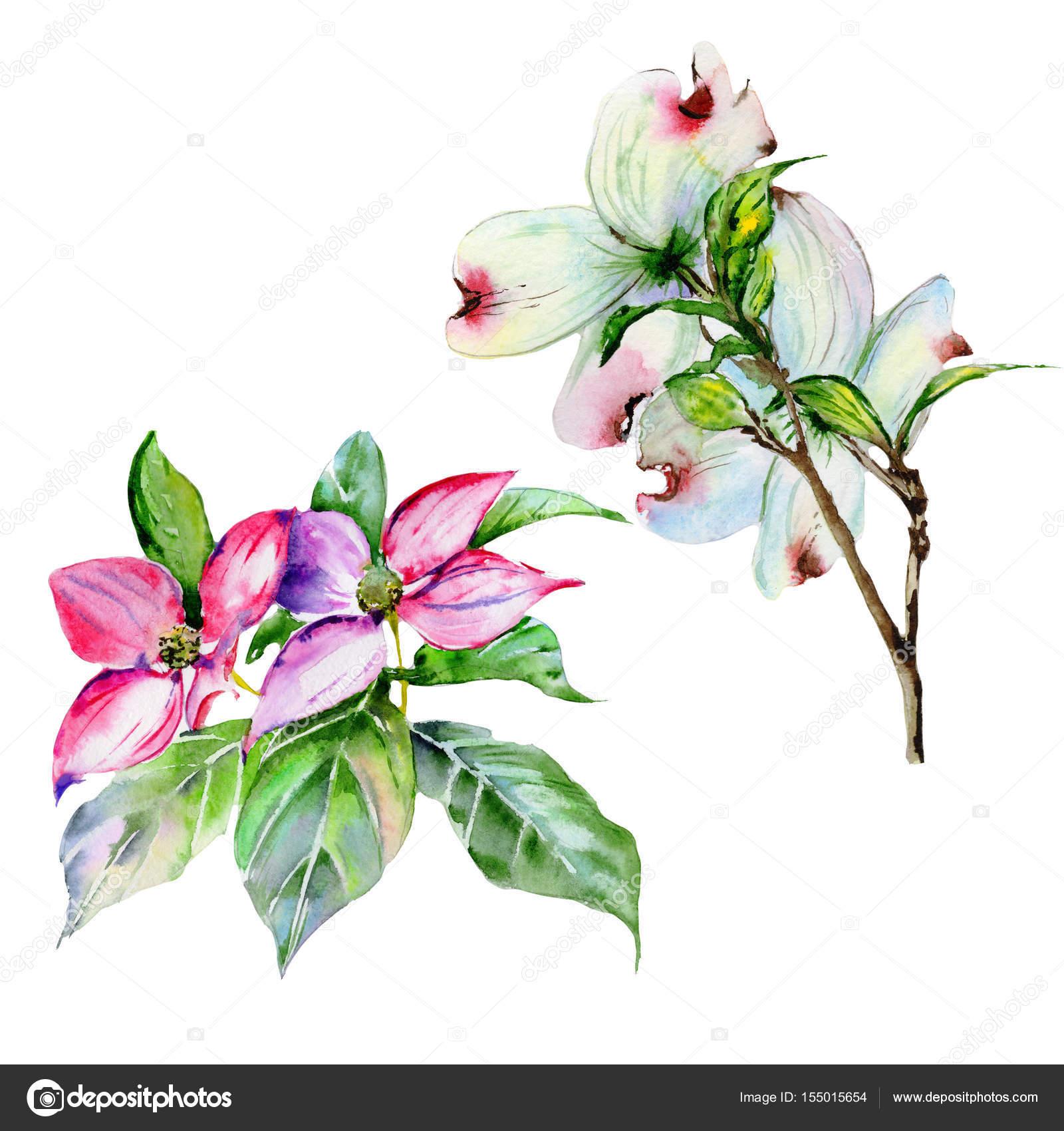 Wildflower dogwood flower in a watercolor style isolated stock wildflower dogwood flower in a watercolor style isolated stock photo izmirmasajfo