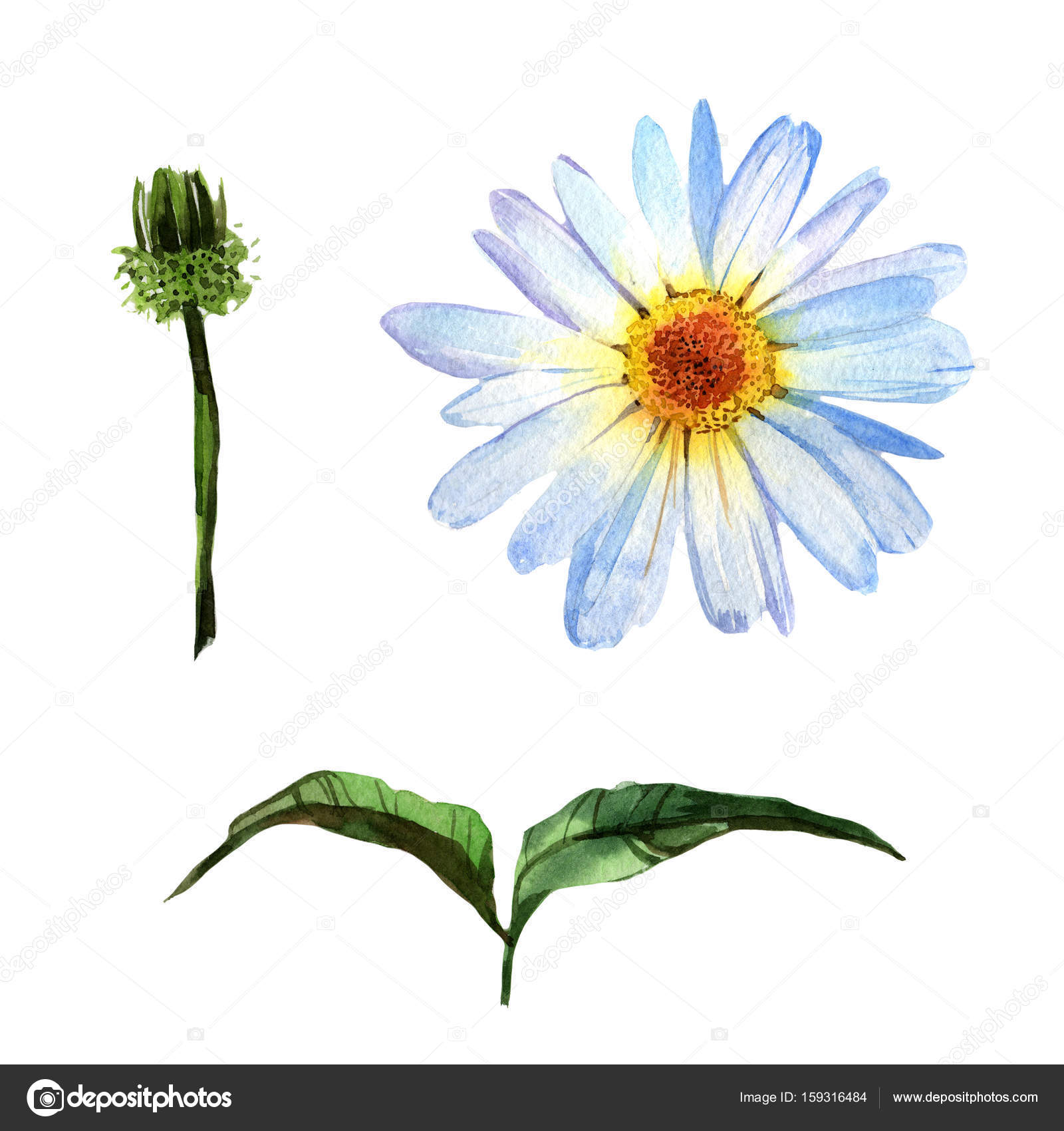 Wildflower Daisy Flower In A Watercolor Style Isolated Stock