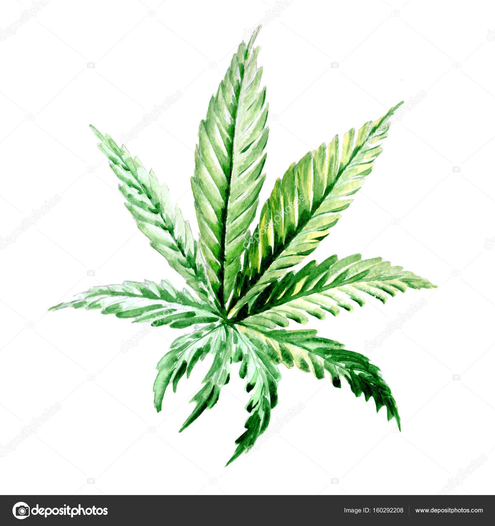 Fleur De Cannabis De Fleurs Sauvages Dans Un Style Aquarelle Isole