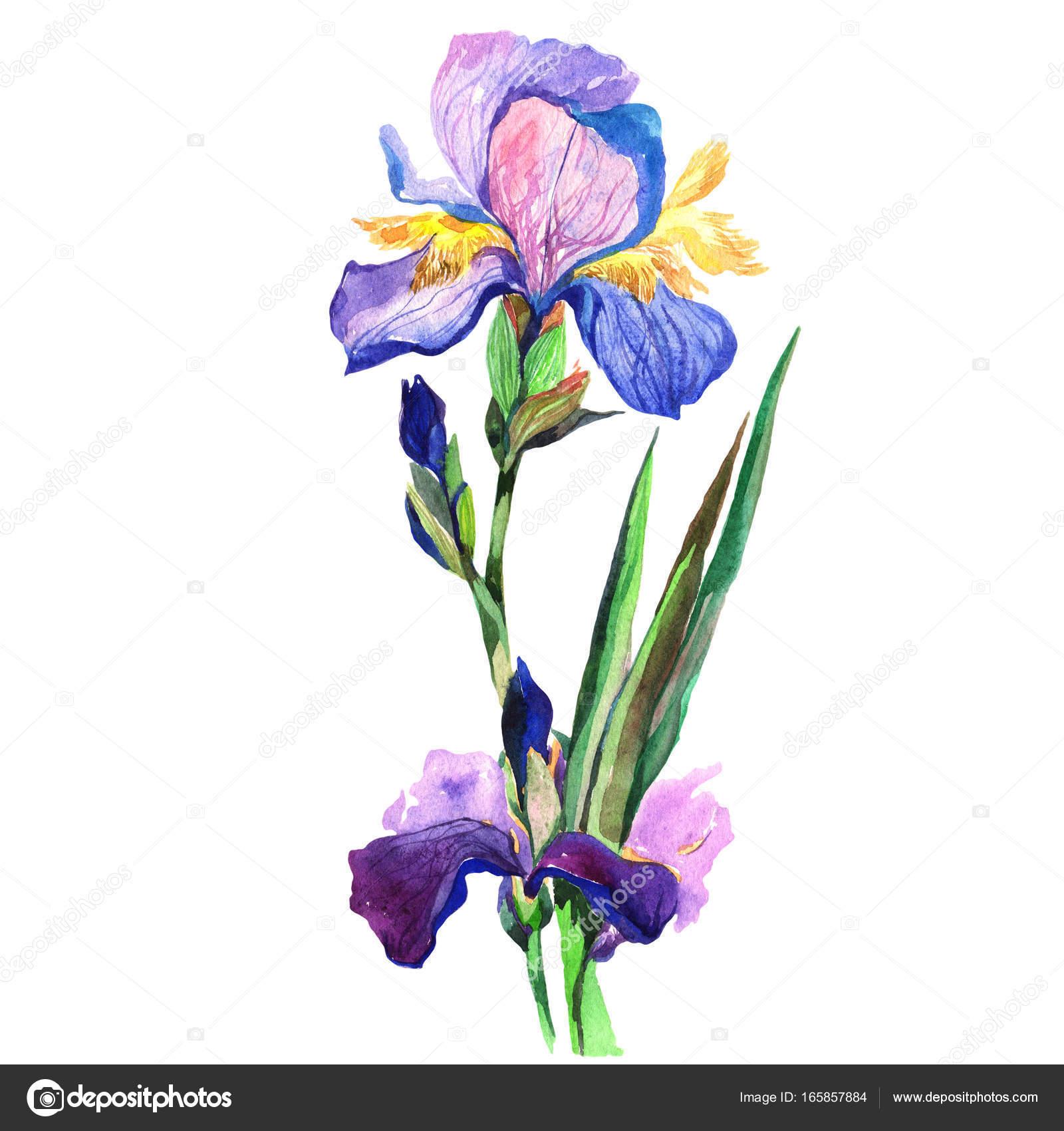 Wildflower iris flower in a watercolor style isolated stock photo wildflower iris flower in a watercolor style isolated full name of the plant fleur de lis aquarelle wild flower for background texture wrapper pattern izmirmasajfo