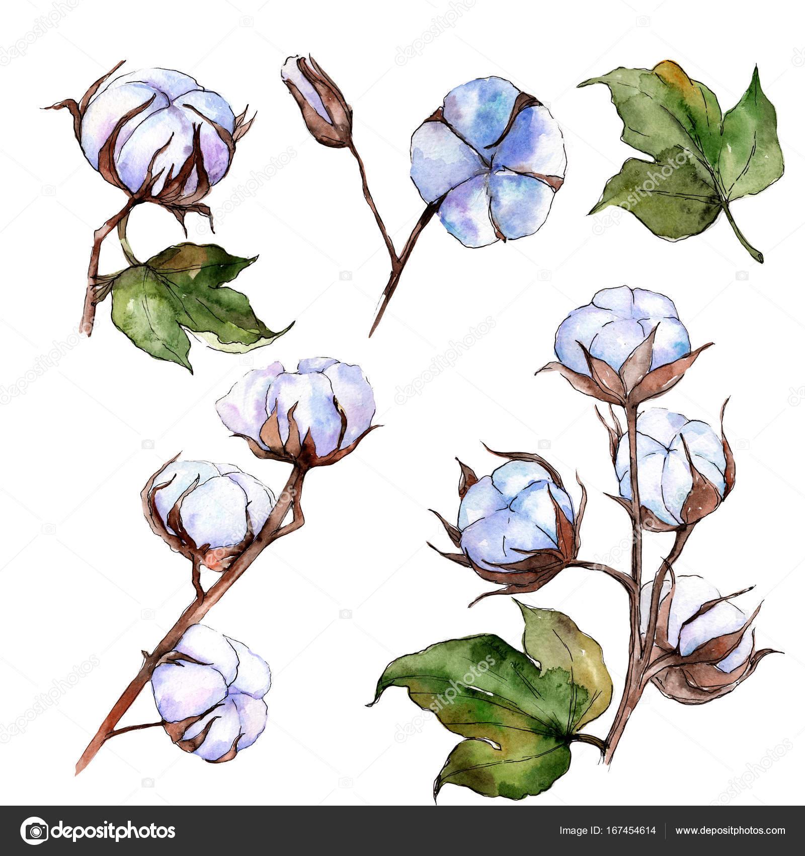 Flor de algodón de flores silvestres en un estilo acuarela aislado ...
