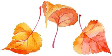 Autumn leaf of poplar in a hand-drawn watercolor style isolated.