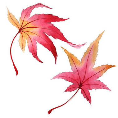 Autumn leaf of maple in a hand-drawn watercolor style isolated.