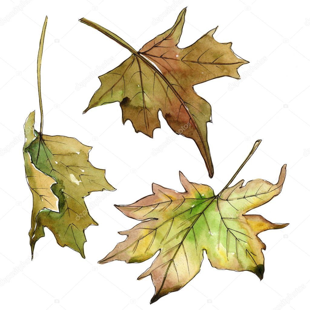 Maple leaves  in a watercolor style isolated.