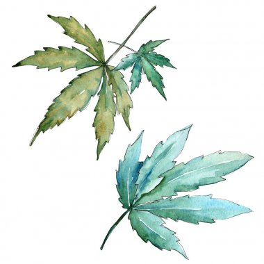 Cannabis leaves  in a watercolor style isolated.