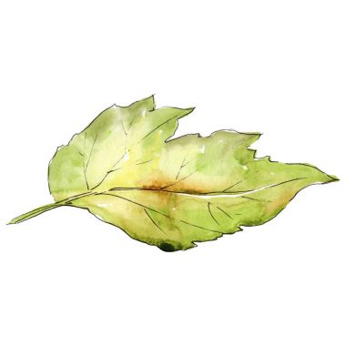 Leaves of hawthorn in a watercolor style isolated.
