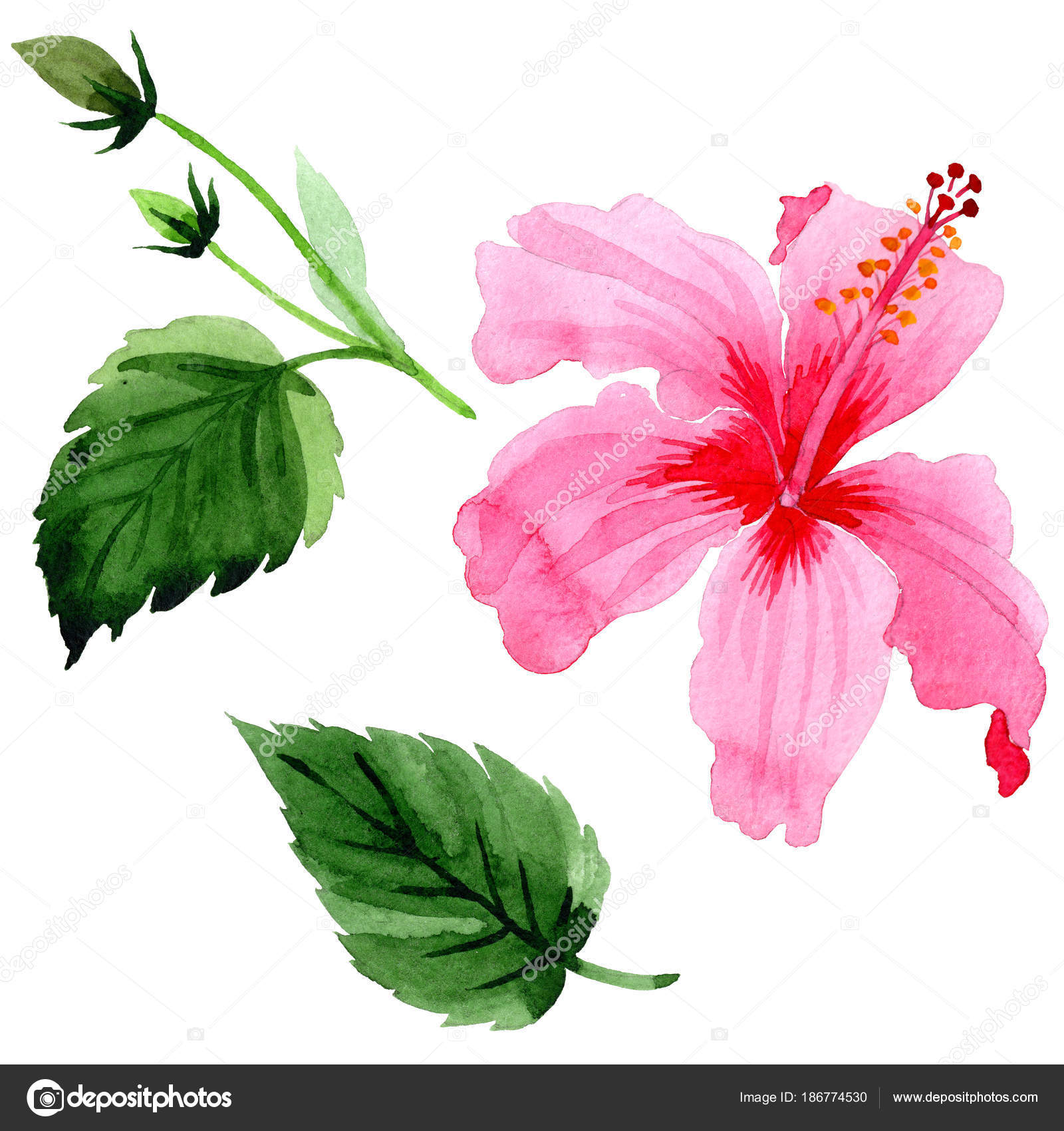Wildflower Hibiscus Pink Flower In A Watercolor Style Isolated