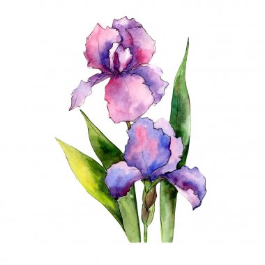 Colorful irises. Floral botanical flower. Wild spring leaf wildflower isolated.