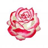 Fehér-piros rózsa. Virágos botanikai virág. Vad tavaszi levél vadvirág elszigetelt