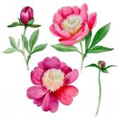 Fotografie Růžová Pivoňka. Květinové botanické květin. Divoká letní listový wildflower izolované